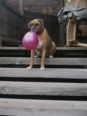 A Tough Looking Bulldog Delicately Holds a Balloon in Morro Bay by Marc Moritsch