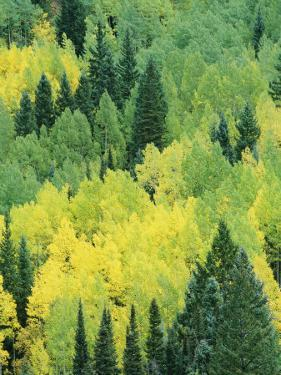 A View Across a Forest of Quaking Aspen and Evergreen Trees by Marc Moritsch