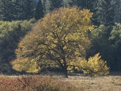 A Yellow Elm Tree Stands out against Green Foliage by Marc Moritsch