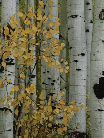Autumn Foliage and Tree Trunks of Quaking Aspen Trees in the Crested Butte Area of Colorado by Marc Moritsch