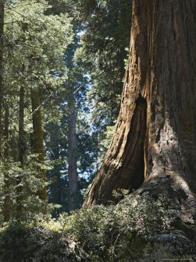 Base of a Sequoia Tree in Sequoia National Park by Marc Moritsch
