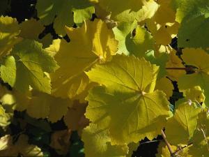 California Wild Grape Leaves (Vitis Californica) by Marc Moritsch