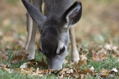 Close Up of a Browsing Mule Deer, Odocoileus Hemionus by Marc Moritsch