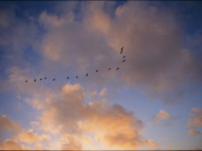 Cormorants in Formation