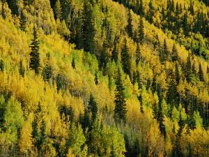 Evergreen and Quaking Aspen Trees Blanket Red Mountain in Colorado by Marc Moritsch