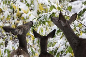 Mule Deer, Odocoileus Hemionus, Browsing on Snow-Covered Shrubs by Marc Moritsch