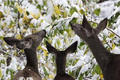 Mule Deer, Odocoileus Hemionus, Browsing on Snow-Covered Shrubs by Marc Moritsch