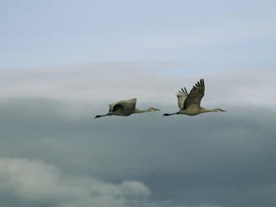 Pair of Sandhill Cranes in Flight by Marc Moritsch