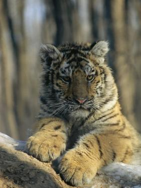 Portrait of a Young Male Siberian Tiger; Raised in Russia and Now Lives in the Minnesota Zoo by Marc Moritsch