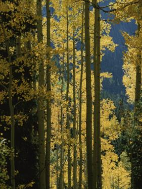 Quaking Aspen Trees Display Brilliant Fall Foliage Near Ouray by Marc Moritsch