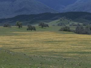 Scenic View of a Field of Wildflowers and Oak Trees in Cuyama Valley by Marc Moritsch