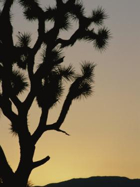 Silhouetted Joshua Tree in Antelope Valley by Marc Moritsch