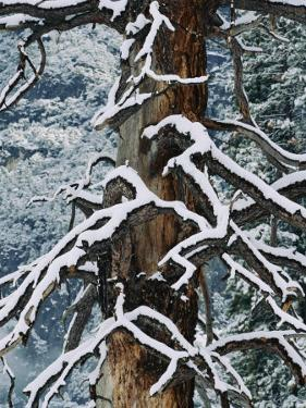 Snow Upon the Limbs of a Dead Tree by Marc Moritsch