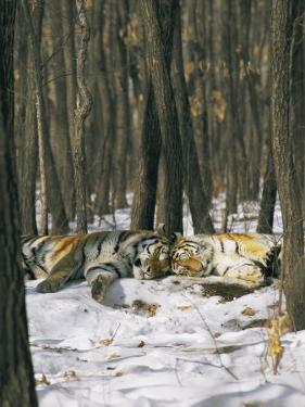 Two Tigers Take a Nap Together by Marc Moritsch