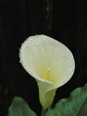 Water Droplets on a Calla Lily by Marc Moritsch