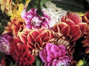Mixed Dahlias by Marc O. Finley