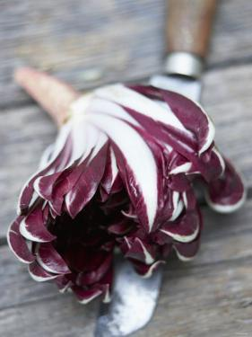 Radicchio Trevisano on a Knife by Marc O. Finley
