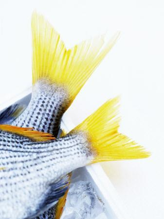 Tails of Two Yellowfin Seabream by Marc O. Finley