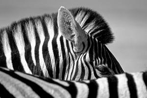 Curious Zebra by Marc Pelissier