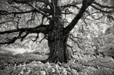 Portrait of a Tree, Study 10