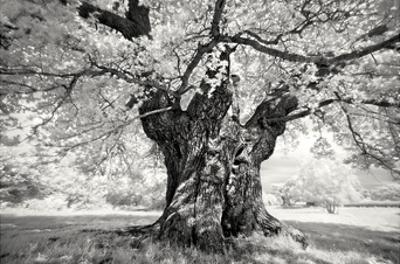Portrait of a Tree, Study 18