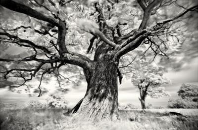 Portrait of a Tree, Study 2