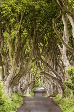 The Dark Hedges, County Antrim, Ulster region, northern Ireland, United Kingdom. Iconic trees tunne by Marco Bottigelli