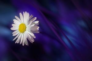 Blue Daisy by Marco Carmassi