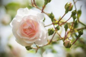 Garden Rose by Marco Carmassi