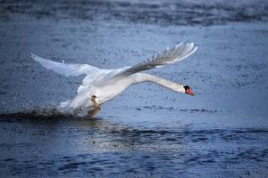 Mute Swan Landing by Marco Carmassi
