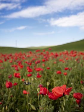 Poppy Field by Marco Carmassi