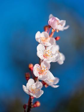 Sakura Spring by Marco Carmassi