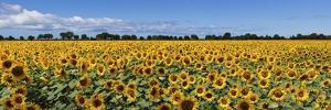 Sunflowers by Marco Carmassi