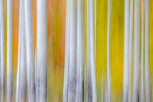The Birches by Marco Carmassi