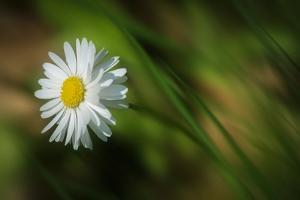 White Daisy by Marco Carmassi