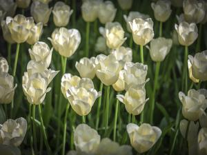 White Tulips by Marco Carmassi