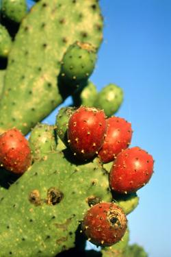 Cactus, San Miguel De Allende, Guanajuato, Mexico by Marco Cristofori