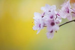 Cerry Blossom by Marco Maccarini