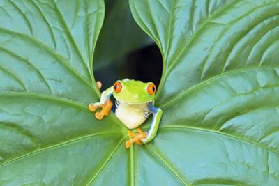 Red-Eyed Tree Frog (Agalychins Callydrias) Emerging from a Leaf, Costa Rica