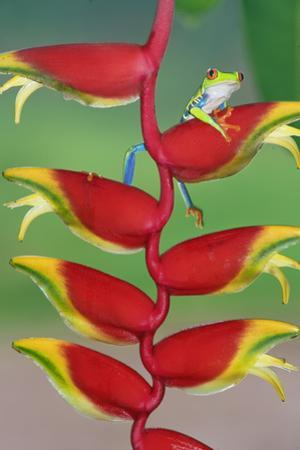 Red-Eyed Tree Frog (Agalychins Callydrias) on a Heliconia (Heliconoa Stricta) Flower, Costa Rica
