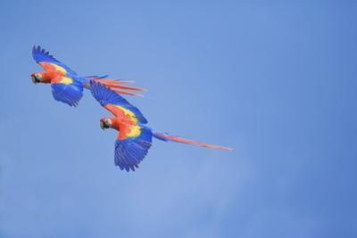 Scarlet Macaws (Ara Macao) on Flight, Corcovado National Park, Costa Rica by Marco Simoni