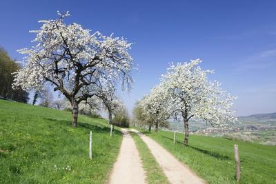 Cherry Blossom at Eggenen Valley