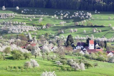 Cherry Blossom in the Eggenen Valley Near Obereggen