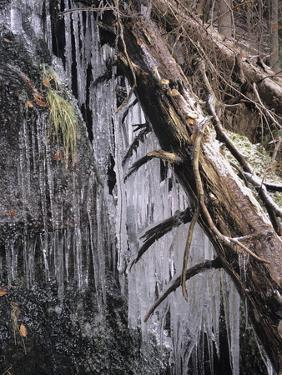 Icy Tree, Near Baiersbronn, Black Forest, Baden Wurttemberg, Germany, Europe by Marcus Lange
