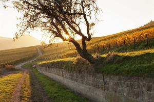 Path Through Vineyards in Autumn at Sunset by Marcus Lange
