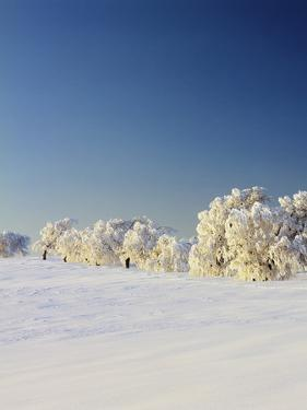 Snow-Covered Birch Trees, Schauinsland Mountain, Black Forest, Baden Wurttemberg, Germany, Europe by Marcus Lange