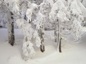 Snow-Covered Trees in Winter, Feldberg Mountain, Black Forest, Baden Wurttemberg, Germany, Europe by Marcus Lange