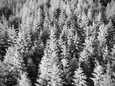 Snow-Covered Trees in Winter
