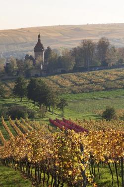 Vineyards in Autumn, German Wine Route, Pfalz, Rhineland-Palatinate, Germany, Europe by Marcus Lange