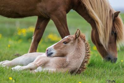 Mare and New Born Foal, Iceland